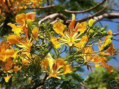flamboyan bonsai | Delonix Regia Yellow Flamboyan Royal Poinciana RARE Bonsai Tree Seed ...