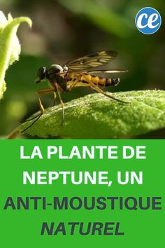 La Plante de Neptune, un Anti-Moustique Naturel.