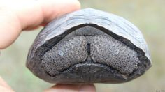 Baby Galapagos Tortoise (c.2015, James Gibbs) just asking to be a meme.   Baby Tortoises Show Up In The Galapagos For The First Time In Over A Century.