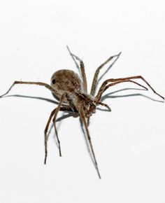 How to get rid of wolf spiders in the house wolves my for How to get rid of spiders in the house uk
