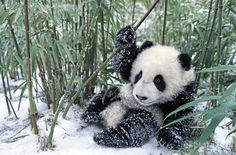 Panda cub in the snow