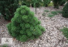 Pinus nigra 'Helga' - Sosna czarna 'Helga'