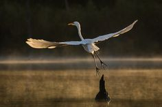 https://flic.kr/p/HarQFv | Early Departure | After a short break a Great Egret gets back to the business of fishing for breakfast on Horsepen Bayou.