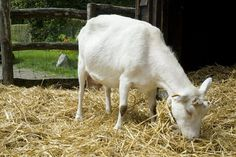 How to Increase Goat Milk Production   Cuteness.com