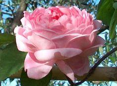 Le Talee di Rosa