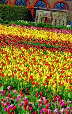 #Tulips at #Biltmore House & Gardens in Asheville NC. More Biltmore photos: www.romanticasheville.com/Biltmore.html