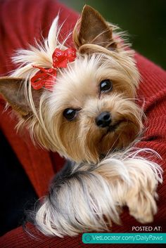 Google Image Result for http://www.vetlocator.com/dailypaws/wp-content/uploads/2012/11/Yorkie-with-red-bow.jpg