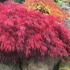 Buy Japanese maple Acer palmatum 'Inaba-shidare': Delivery by Crocus