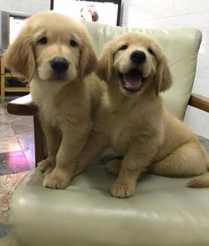 Puppy Pictures, Puppy Pics, Puppies, Pets, Gold, Animaux, Dog Photos, Animals And Pets, Puppys