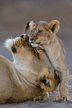 ~~lion cub and lioness by Shem Compion~~