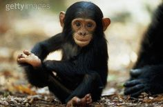 chimp babies - Google Search