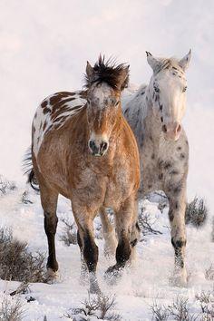 Image: by Carol J. Walker. Two Appaloosas. ADOBE TOWN APPALOOSAS