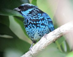 Tangara nigroviridis / Tángara berlina / Beryl-spangled Tanager | Flickr - Photo Sharing!