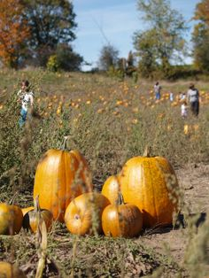 Come pick your own pumpkins at Albion Orchards