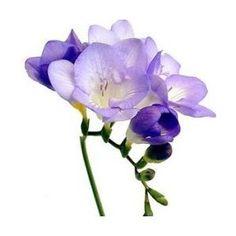 freesia - purple freesia.  Love freesia!