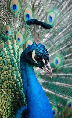 Peacock Blue!