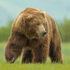 °Grizzly Bear by Henrik Nilsson