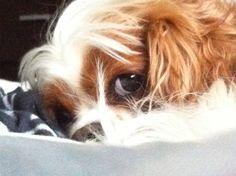 Peeking.   My beautiful boy!!  Cavalier King Charles spaniel!