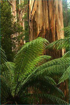 temperate rainforest, Australia | Oz Pic's 253