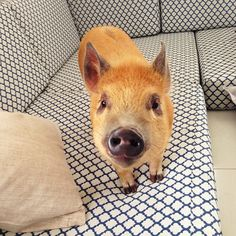 Jamon, 6 month old mini pig, from Sao Paulo, Brazil