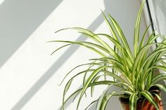 Ribbon Plant, Anthericum, Spider Ivy, Spider Plant