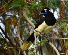 gralha-picaça - Cyanocorax chrysops (Vieillot, 1818) --{ Birds }--