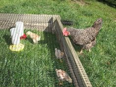 Outdoor 'Chick Nursery' for growing chickens. Made of small gauge chicken wire stapled into/over a raised garden bed for protection from predators...