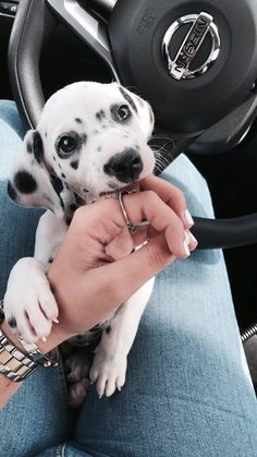 Athena the Dalmatian!