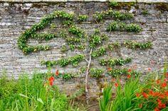 Horizontal espalier pear tree on a stone wall