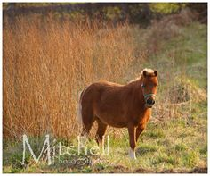 Our Peter Pony (Miniature Horse) eating grass in the pasture. Setting sun casting it's warm glow onto the back of him and the grass.