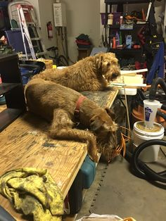 Irish Brothers find the need to lay down on the work bench. Today, (we) were building a shelf
