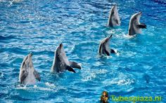 dolphin, dolfijn