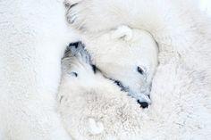 Credit: Daisy Gilardini/GDT Mammals category, highly commended: Polar Bears Hugging by Daisy Gilardini