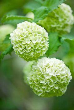 Hydrangea | clive nichols garden photography