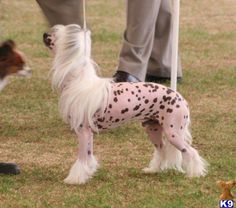 Chinese Crested Stud ...