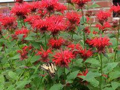 Monarde pourpre aromatique feuille et fleur comestible