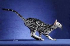"What a gorgeous kitty!  ""Oriental Shorthair - hypoallergenic"""