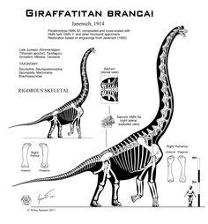 Giraffatitan+brancai+hi-fi+skeletal+by+Paleo-King.deviantart.com+on+@deviantART