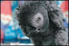 Jesse - Avaliable Birds - FEATHERED SANCTUARY EXOTIC BIRD RESCUE