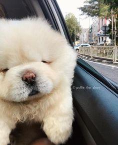 もっふもふで、まんまる! 真っ白チャウチャウ犬のパフィーが愛くるしすぎる / つぶらすぎる瞳がチャームポイントです♪   Pouch[ポーチ]