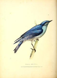 - Fauna boreali-americana, or, The zoology of the northern parts of British America - Biodiversity Heritage Library Beautiful Songs, Beautiful Birds, Beautiful Images, Nature Prints, Bird Prints, Vintage Birds, Vintage Prints, Common Birds, Audubon Birds