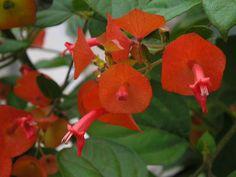 flor chapeuzinho chines - Pesquisa Google