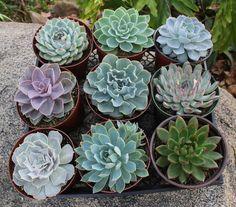 """6"""" Echeverias Succulent"""