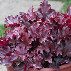 Cinnamon Curls Coralbells - Growing conditions: Shade, Partial shade Size: 8–12 inches tall, 12–16 inches wide Zones: 4–9