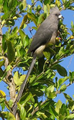White-backed Mousebird (Colius colius) is a large species of mousebird. It is distributed in western & central regions of southern Africa from Namibia & southern Botswana eastwards to Central Transvaal & the eastern Cape.