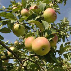Winter Banana Antique Apple - Apple Trees - Stark Bro's