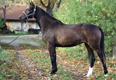 Registered Irish Sport Horse, RIDSH. originally called Irish Hunter. Developed by crossing Irish Draft Horses with thorougbreds. A top competitor at show jumping and eventing.