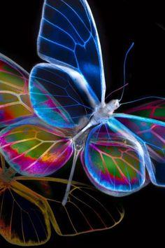 GlassWing RainBow ButterFly