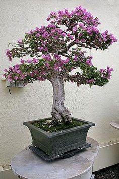 Foto do bonsai Primavera, esta espécie é muito cultivada em forma de bonsai por produzir um efeito muito bonito com suas numerosas flores miniaturas durante a época de floração.