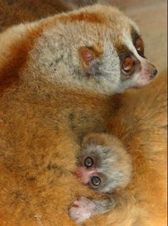 Baby slow loris with mother at Nanning Zoo, China, posted via acuteaday.com